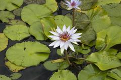 Summer_Garden_Club_July_2017_027 (hcprecinct4) Tags: garden flowers gardening botanic mercer gardens gingers water lilies