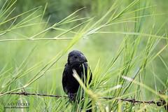 A Bird In The Grass (a.o.tucker) Tags: barbwire birds esteli groovebilledani nic49 nicaragua wildlife