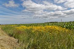 Am Feldrand (M. Franziska D.) Tags: nordee nordfriesland inselföhr wolken dünen strand felder