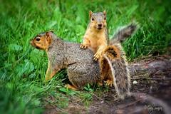 Let's play (Gaby Swanson, Photographer) Tags: squirrel squirrels naturephotography wildlife wildlifenorthamerica animals animal