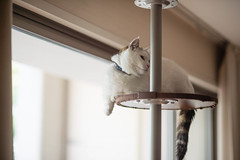 just hangin' around (Nazra Z.) Tags: munchkin tabby white cat tower home natural light summer raw 2017 okayama japan