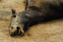 Horse Carcass Face, Colombia (AdamCohn) Tags: adamcohn colombia birds carcass carrion deadhorse geo:lat=7989828 geo:lon=73506246 geotagged horse mummified roadkill roadside rotten rotting scavengers scavenging vultures wwwadamcohncom sanmartin cesar