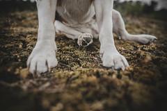 (John.Thai.) Tags: littledoglaughedstories beagle sia dog heathland nature black nail paw moss