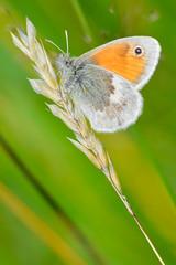 _DSC0373 (Donjovi2012) Tags: ayrshire gailesmarsh irvine macro nature scotland shallowdof smallheathbutterfly softfocus