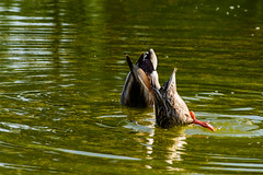 Bottoms Up (gendarme02) Tags: pool nikon water nikond7100 washingtondc wyattmartin pond waterfowl summer 2017 outside d7100 mall swimming bird outdoor eating feeding mallard may washington duck