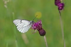 Baumweißling (Aah-Yeah) Tags: baumweisling black veined white aporia crataegi schmetterling butterfly tagfalter marquartstein achental chiemgau bayern