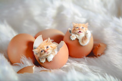 Kittens (Krunja) Tags: egg striped adorable animal baby background beautiful broken cat cats concept copyspace cute domestic eggs feline funny g happy hatching healthy inside isolated kitten kittens kitty life little looking lovely macro mammal mammals natural pet playing pretty purebred pussy shell small sweet tabby white young
