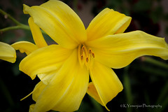 Yellow Lily (K.Yemenjian Photography) Tags: natural flowers yellowflowers flore flower lilies lily yellowlily california venturaharbor venturaharborcalifornia beautyofnature colorful macro closeup details depthoffield dof canon