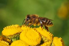 A hony bee working on a Tansy flowers. (Bienenwabe) Tags: tansy tanacetum tanacetumvulgare asteraceae rainfarn honigbiene biene honeybee bee apis apismellifera apiaceae