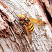 Volucella-Inanis Hover-fly.