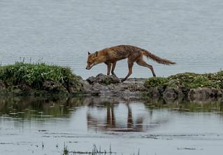 JWL1908  Foxy..