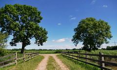 Zwei Spuren, zwei Bäume - Two tracks, two trees (antje whv) Tags: wesermarsch norddeutschland northgermany landschaft landscape bäume trees zaun fence spuren tracks