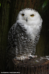 Snow owl - Dierenrijk (Mandenno photography) Tags: dierenpark dierentuin dieren dierenrijk ngc nederland netherlands nature owl snow snowowl zoo bird birds