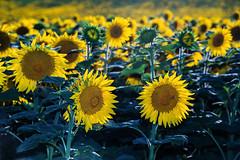 Il y a, paraît-il, deux soleils : celui du ciel, celui du coeur. (Valentin le luron) Tags: 20170712 nikon 800 e paysage nature champ oulens vaud romandie suisse tournesol fleur yves paudex lausanne