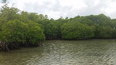 Mangroves Figure 1