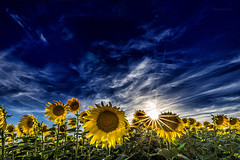 Gira, sol..... (Martika64) Tags: girasol cielo nubes sol campo airelibre naturaleza vegetación rayosdesol sunflower plants sky clouds countryside outdoor nature naturephotography sunrays atardecer sunset nwn