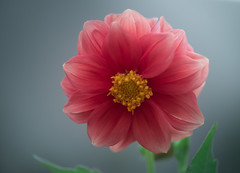 Simply Beautiful (Bai R.) Tags: dahlia beautiful sadness delicate nikkor105mmf28gvrmicro
