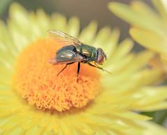The Fly (TONY VIKLICKY) Tags: tony viklicky d40 nikon bokina backyrd flowers green foilage cone yellow insects
