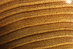 Black locust wood close up, pores abundantly packed with tyloses. (Stephen Mildenhall) Tags: woodturning bowl wood lathe woodbowl woodwork macro closeup