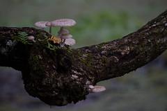 Mushrooms (River-Life) Tags: riverlife nikon d5300 outdoors outdoor nature mushrooms corkscrewswampsanctuary florida fungi