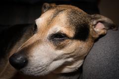 Romeo (grantdaws) Tags: romeo pet pets dog dogs canine mutt pitweiler rottbull pitbull pit mix creative flash photography 20mm nikon atlanta georgia ga