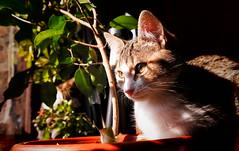 Sindy 0002 (mcg0011) Tags: gata migata gatita mascota pet feline felino manuelcarrasco