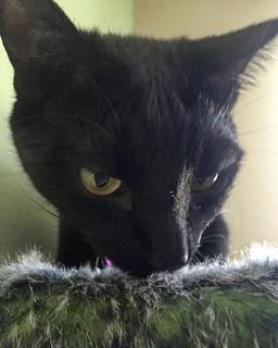 #sniff #sniffing ... Yup! Monday. #mondayhumor #blackcat #blackcats #cat #cats #kitty #kittycat #kittygram #blackcatsofinstagram #exferal #queencat #catsofinstagram #catsagram #ネコ #ねこ #猫 #neko #kuroneko #黒猫 #クロネコ #くろねこ