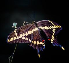 Big 'un (Portraying Life, LLC) Tags: dbg6 da3004 hd14tc k1 michigan pentax ricoh unitedstates butterfly closecrop handheld nativelighting forest
