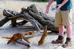 Yellow Mongoose, mangouste (claude 22) Tags: animal woburn safari park wild feeding nourriture desert life bedfordshire england uk angleterre natural yellow mongoose mangouste fujinon fuji xf18135mm xt1