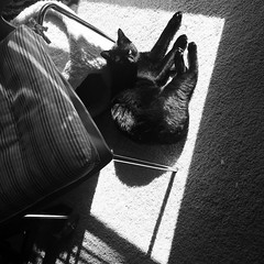 Ahhhh. The paparazzi disturbing my sunbathing again. #blackandwhitephoto #sunbathing #sunspot #blackcat #blackcats #cat #cats #kitty #kittycat #kittygram #blackcatsofinstagram #exferal #queencat #catsofinstagram #catsagram #ネコ #ねこ #猫 #neko #kuroneko #黒猫 # (tiina2eyes) Tags: ahhhh the paparazzi disturbing sunbathing again blackandwhitephoto sunspot blackcat blackcats cat cats kitty kittycat kittygram blackcatsofinstagram exferal queencat catsofinstagram catsagram ネコ ねこ 猫 neko kuroneko 黒猫 クロネコ くろねこ ifttt instagram