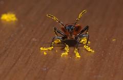 wykąpany w pyłku // bathed in pollen (stempel*) Tags: wykąpany w pyłku pyłek bathed pollen owad insect macro makro 50mm animal stół polska poland polen polonia pentax k30 gambezia pyrrhocoris apterus tramwajarz bug