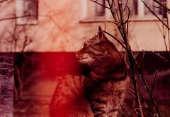 Lomography cat (suxarik) Tags: minolta xgm rokkor rokkorpf f12 dof shallow depthoffield film expired color c41 diy selfdeveloped rotary jobo cpe2 dnp centuria dnpcenturia200 scanned imacon imaconflextightphoto ishootfilm 58mm light lightleak cat lomography