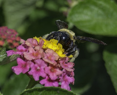 Bee_SAF8700-2 (sara97) Tags: bee flower floweringplant insect missouri nature outdoors photobysaraannefinke pollinator saintlouis towergrovepark towergrovepark2017 urbanpark