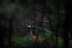 13 point stag (Clayton0105) Tags: red stag deer velvet antlers antler cervus elaphus
