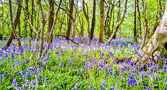 Welcome to Paradise (Francesco Impellizzeri) Tags: brighton england park forest flowers bluebells