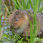 Water Vole thumbnail