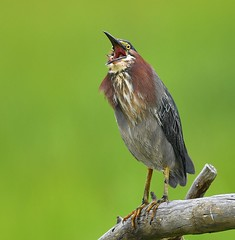 Green Heron Singing (KoolPix) Tags: bird beak feathers koolpix jaykoolpix naturephotography jay nature wildlife wildlifephotos naturephotos naturephotographer animalphotographer wcswebsite nationalgeographic fantasticnature amazingnature wonderfulbirdphotos animal amazingwildlifephotos fantasticnaturephotos incrediblenature naturephotographywildlifephotography wildlifephotographer mothernature mnsa marinenaturestudyarea heron greenheron singing birdsinging