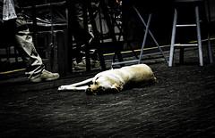 This dog is done (C@mera M@n) Tags: city dog goldenretreiver manhattan ny nyc newyork newyorkcity newyorkcityphotography newyorkphotography places urban outdoors workingdog
