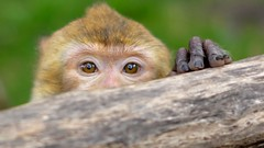 Curious George is only showing half a face. (aadilbricha) Tags: halfaface monkey aap dierentuin rheine zoo smileonsaturday face curious shy tierparkrheine germany