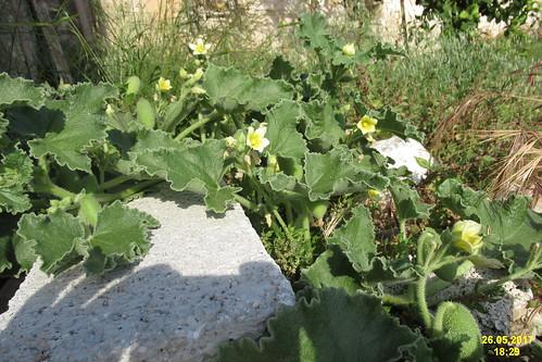 Zakynthos flora (Maries)