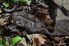 Northern Copperhead (ashockenberry) Tags: copperhead northern west virginia snake venomous