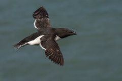 Razorbill,  Flamborough Head (Phil D 245) Tags: