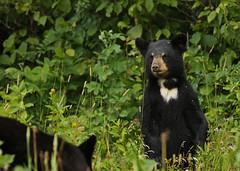 Black Bear cub...#8 (Guy Lichter Photography - 3.5M views Thank you) Tags: canon 5d3 canada manitoba rmnp wildlife animal animals mammal mammals bear bears blackbear cub