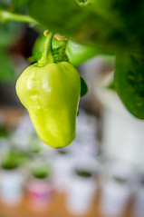 Fatalii White (stankar) Tags: chilli peppers hot superhot indoor chili fatalii white