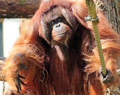 borneo orangutan Kevin Apenheul BB2A7228 (j.a.kok) Tags: orangutan orangoetan borneoorangutan borneoorangoetan asia azie mammal monkey mensaap primate primaat zoogdier dier animal kevin ape aap apenheul borneo