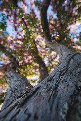climb that trunk (KieraJo) Tags: canonef24mmf14liiusm l lens canon 5d mark 3 iii 5d3 fullframe dslr wide angle tree spring blossom pink below cool trunk branches leaves beautiful