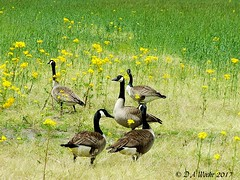 Canada Geese (Picsnapper1212) Tags: canadageese goose bird animal nature warrencounty ohio