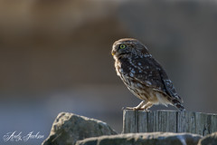 Little Owl (zandy1978) Tags: wild little owl bird prey nature wildlife natural backlit northumberland england canon 7d mkii