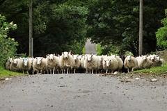 Bèh, bèh..... (peeteninge) Tags: sheep schaap animals dieren northumberland england greatbritain engeland grootbrittannië sonyrx10 sony