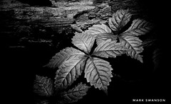 Leaves (mswan777) Tags: leaf plant tree forest wood ansel outdoor nature trail hiking michigan monochrome black white nikon d5100 sigma 70300mm sunlight texture detail